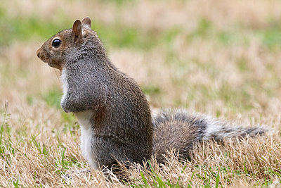Portrait of a gray squirrel in grass - p1480m2148193 by Brian W. Downs