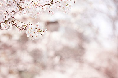 Cherry blossoms - p307m2261398 by Score. by Aflo