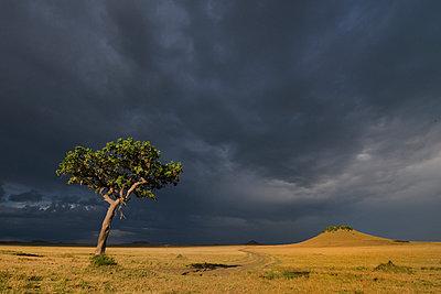 Storm clouds and Acacia tortilis tree, Mara Triangle, Maasai Mara National Reserve, Narok, Kenya, Africa - p429m926245 by Lou Coetzer