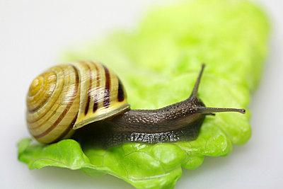 Schnecke auf Salatblatt - p4500307 von Hanka Steidle