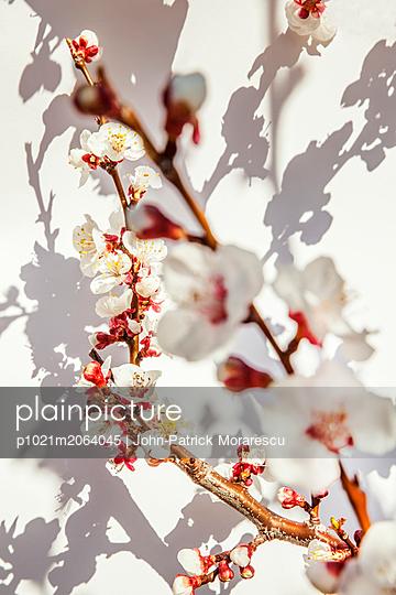 Aprikosenblüte - p1021m2064045 von MORA