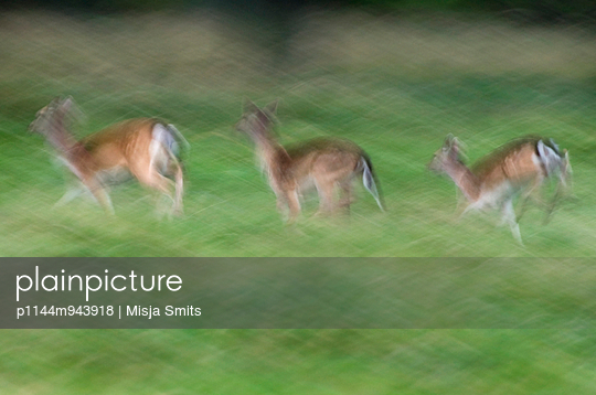 Three running Fallow deer - p1144m943918 by Misja Smits
