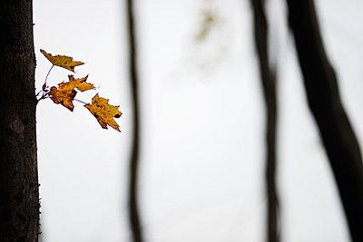 Herbstliche Blätter am Baumstamm - p816m1032188 von Bekkelund, Thorfinn