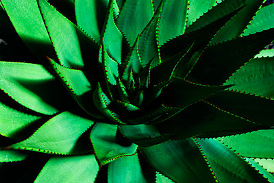 Aloe Vera - p867m883418 by Thomas Degen