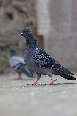 Tauben in Istanbul - p045m1486788 von Jasmin Sander