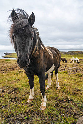 Icelandic horses in the natural landscape; Iceland - p442m2074070 by Robert Postma