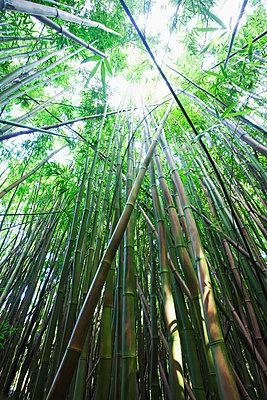 Hawaii, Maui, Hana, A path through green bamboo. - p442m860356 by Jenna Szerlag