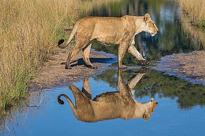 Botswana, Vumburua Plains, Okavango Delta. A lioness walking through a swamp with her reflection in a pool of water. - p652m1505129 by Nigel Pavitt