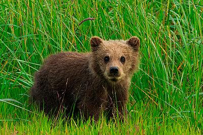 Brown bear cub - p1100m887871f by Art Wolfe