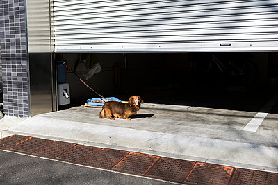 Dachshund in  front of a garage - p1271m1553215 by Maurice Kohl