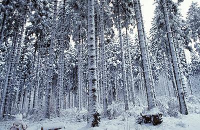 Winterlicher Fichtenwald - p2350513 von KuS