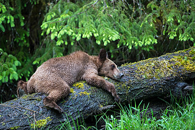 Young grizzly bear - p300m885000f by Fotofeeling