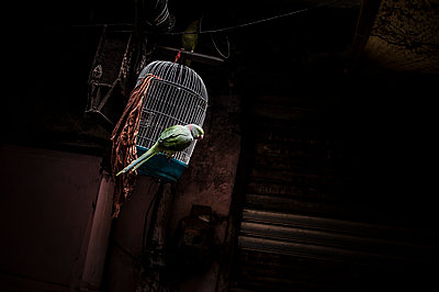 Green parrot and white cage - p1007m1144361 by Tilby Vattard