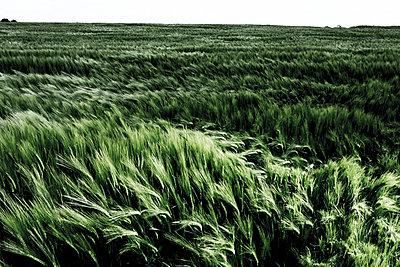 Barley - p1221m1028489 by Frank Lothar Lange