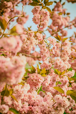 Pink blossom on a tree - p1047m1137552 by Sally Mundy