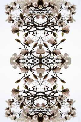 Abstract kaleidoscope of branches of a flowering magnolia tree - p1047m1137572 by Sally Mundy