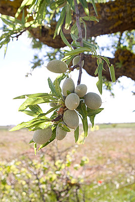 Almond tree - p7690003 by Nicolai Froehlich