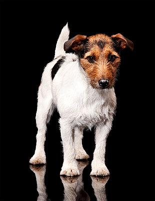 Jack Russel Terrier - p803m2270213 by Thomas Balzer