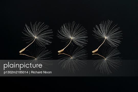 Three Dandelion seeds on a black reflective surface - p1302m2185014 by Richard Nixon