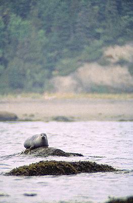 Seehund auf Felsen - p2002114 von Jean Bruneau
