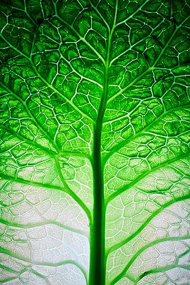 Savoy cabbage - p803m2270231 by Thomas Balzer