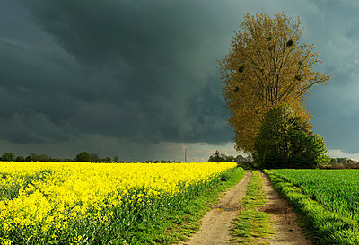 Dirt track and oil seed rape field - p429m819794 by Mischa Keijser