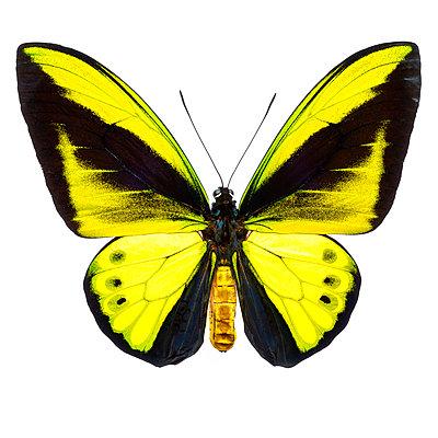 Big Yellow, Ornithoptera - p587m1104309 von Spitta + Hellwig