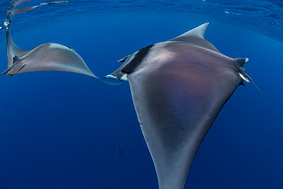 Spinetail devil rays (Mobula mobular) engaged in sexual courtship in Honda Bay, Palawan, The Philippines, Southeast Asia - p871m2122888 by Duncan Murrell