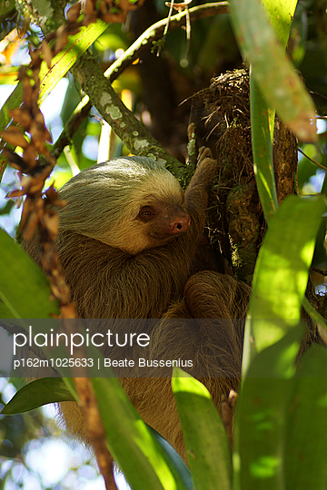 Three-toed sloth - p162m1025633 by Beate Bussenius