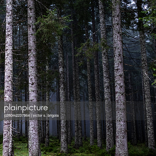 Forest in the fog - p280m2237864 by victor s. brigola