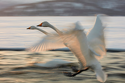 Whooper Swan, Cygnus cygnus, flying over frozen bay in winter. - p1100m1520150 by Mint Images