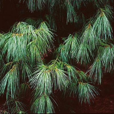 Pine - p1195m1195470 by Kathrin Brunnhofer