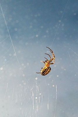 A garden spider on a web with water droplets - p1302m2126954 by Richard Nixon