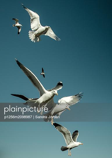 Seagulls - p1256m2098987 by Sandra Jordan