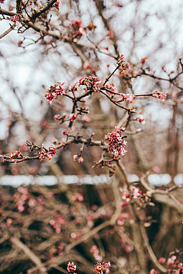 Close-up of wild cherry flowers - p1166m2137467 by Cavan Images