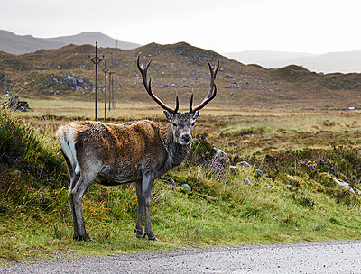 A highland deer looking over its shoulder from roadside, portrait, Achnasheen, Scottish Highlands, Scotland - p429m2078017 by Ross Woodhall