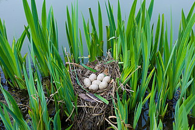 Moorhen's nest, with seven eggs laid, made with twigs among iris plants in a pond in Swinbrook, the Cotswolds, Oxfordshire, UK - p871m895855 by Tim Graham