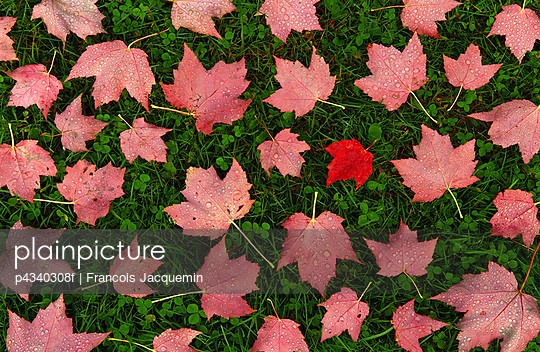 Maple leaves scattered on grass, overhead view