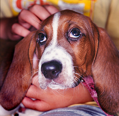 Closeup of sad-looking face of basset hound puppy - p3720591 by Stu Mullenberg