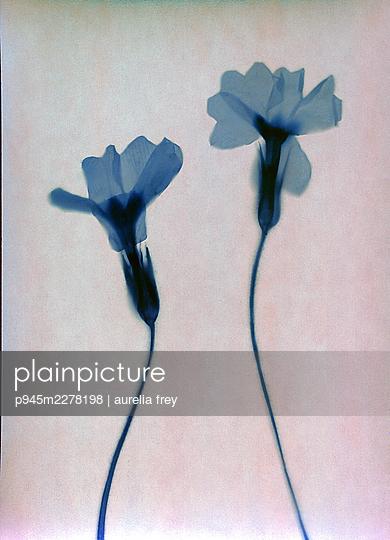 Blue pressed flowers - p945m2278198 by aurelia frey