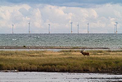 Red deer, Darss, National park Vorpommersche Boddenlandschaft, Baltic sea, Mecklenburg-Vorpommern, Germany - p1316m1202854 by Lukas Wernicke