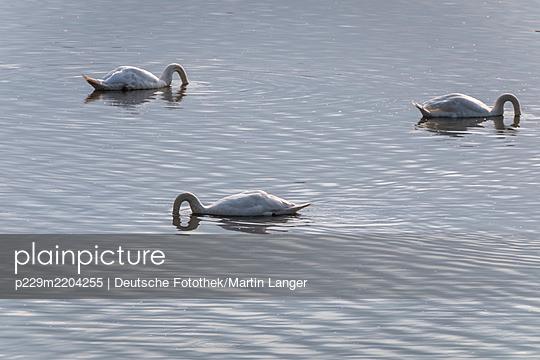 Germany, Hamburg, Swans - p229m2204255 by Martin Langer
