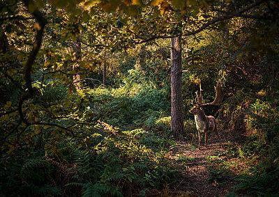 Deer in woodlands, West Midlands, UK - p429m1447840 by Matt Walford