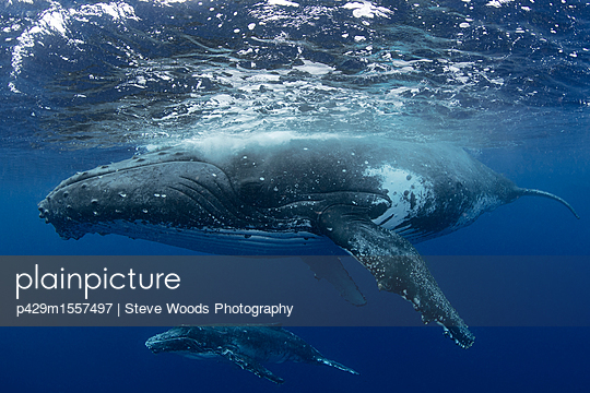 Humpback whale (Megaptera novaeangliae) and calf in the waters of Tonga - p429m1557497 by Steve Woods Photography