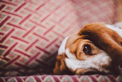 Dog on sofa - p312m2051562 by Matilda Holmqvist