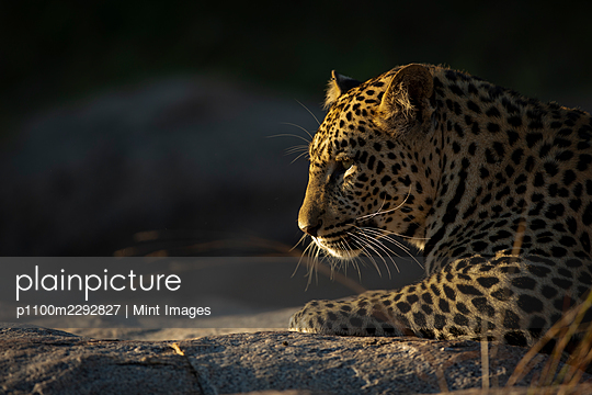 The side profile of a leopard, Panthera pardus, in soft light - p1100m2292827 by Mint Images