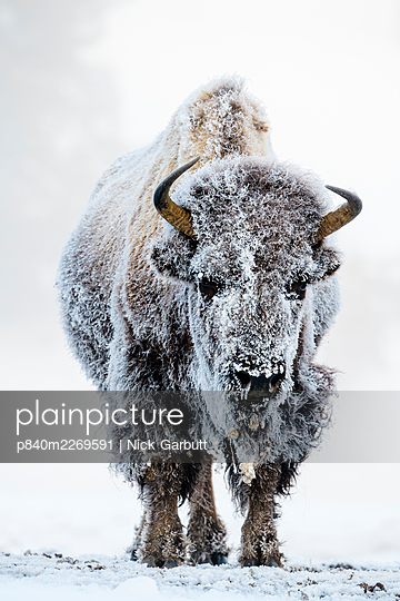 American bison (Bison bison) female covered in hoar frost  near hot spring, portrait. Midway Geyser Basin, Yellowstone National Park, USA. February. - p840m2269591 by Nick Garbutt