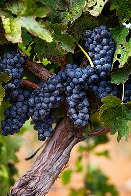 Grapes growing in vineyard - p1166m1152098 by Cavan Images