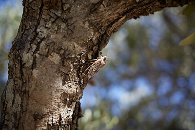 Cicada on olive tree - p1198m2053972 by Guenther Schwering