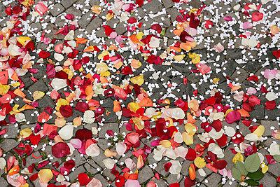 Rose petals on cobblestone pathway - p3015627f by Halfdark